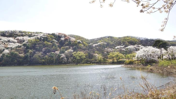 호암미술관 호수와 벚꽃