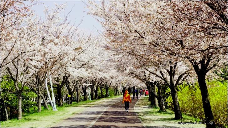 구포뚝 벚꽃길