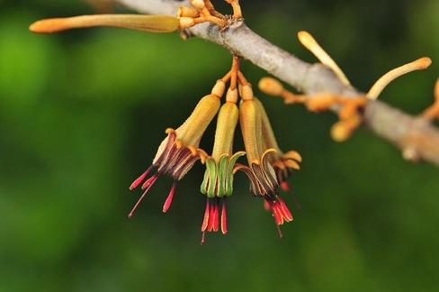 참나무겨우살이의 꽃
