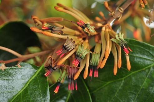 참나무겨우살이의 꽃차례