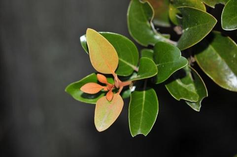 참나무겨우살이의 잎