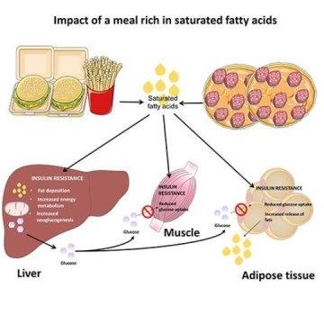 다량의 포화 지방산이 간과 근육, 그리고 지방 조직에 미치는 영향을 보여준다. - 독일 당뇨병센터(DDZ)