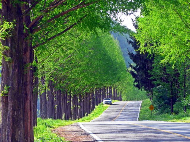 온통 초록빛의 진안 메타세쿼이아 길. 가을이 되면 단풍잎으로 옷을 갈아입는다