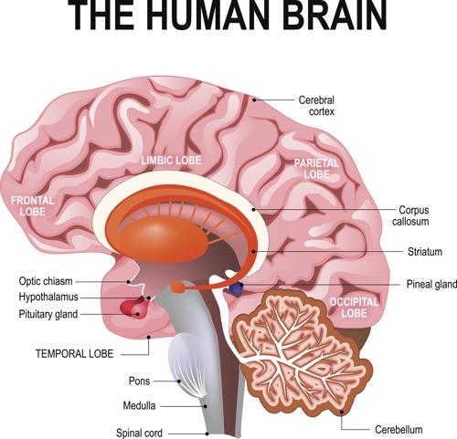 인간 뇌 해부도 [게티이미지뱅크 제공]