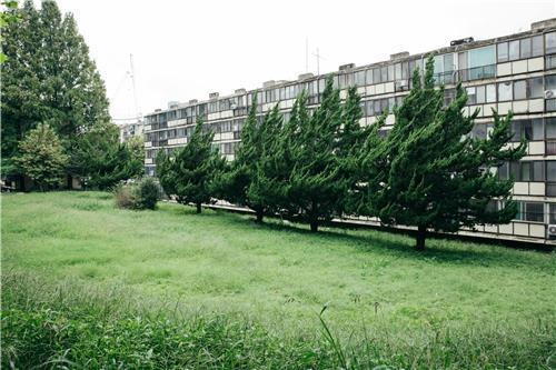개포주공4단지의 향나무
