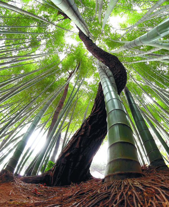대나무와 소나무는 많이 다르다. 대나무는 곧게 자라지만 소나무는 이리 휘고 저리 비틀리면서 하늘을 향해 가지를 뻗는다. 하지만 한국인에게 두 나무는 비슷한 의미를 띤다. 조상들은 대나무에서는 올곧은 절개를, 소나무에서는 꿋꿋한 기상을 본받으려 했다. 사진은 전북 고창읍성 대숲에서 촬영한 것이다. 대나무와 소나무가 한데 어우러지며 빛을 향해 솟구쳐 있다. 창간 29주년을 맞은 국민일보는 저들 나무처럼 한국 사회의 공존을 모색하면서 힘차게 성장해나갈 것이다. 고창=서영희 기자