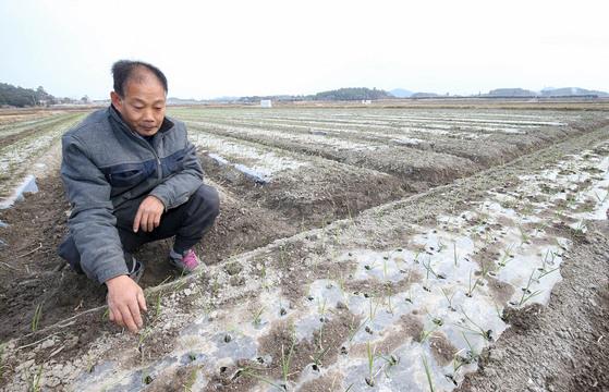 지난 16일 전남 무안군 몽탄면에서 양파 농사를 짓는 김덕형(56)씨가 최저임금 인상 여파로 수확철 인부들의 임금이 크게 오를 것을 우려하며 양파밭을 살펴보고 있다. 프리랜서 장정필