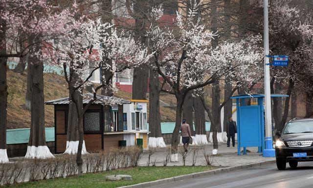 살구나무 꽃이 활짝 핀 평양거리