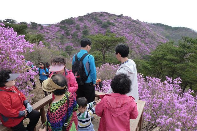 강화 고려산 정상에 형성된 진달래 군락지를 둘러보고 있는 등산객들.