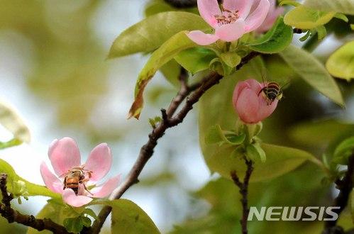 【남해=뉴시스】차용현 기자 = 16일 오후 경남 남해군 서면 스포츠파크 공원에 심어진 모과나무에 연분홍 꽃이 꽃망울을 터트리자 꿀벌들이 날아와 꿀을 따고 있다. 2018.04.16. con@newsis.com