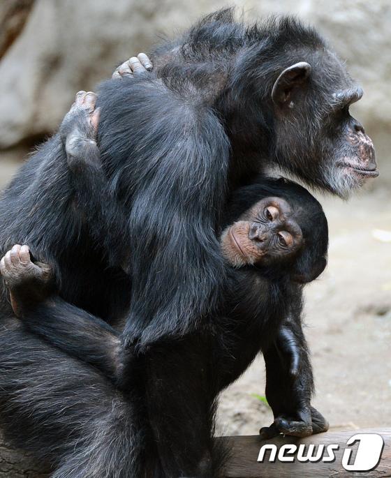 침팬지 잠자리가 사람 침대보다 더 깨끗해