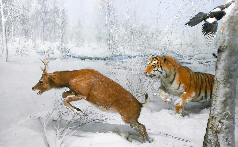 백두산호랑이 주 먹이는 멧돼지, 겨울엔 절반 차지