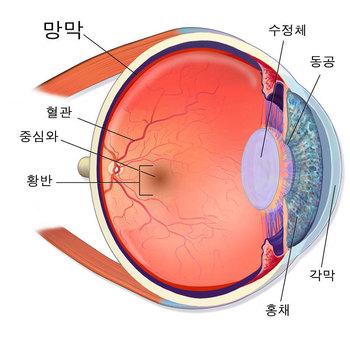 눈의 구조와 망막. 출처: 위키미디어 코먼스