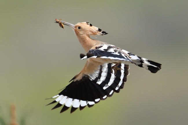 둥지를 향해 방향을 바로 잡는 후투티.