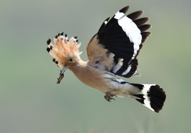 애벌레를 물고 둥지로 향하는 후투티.
