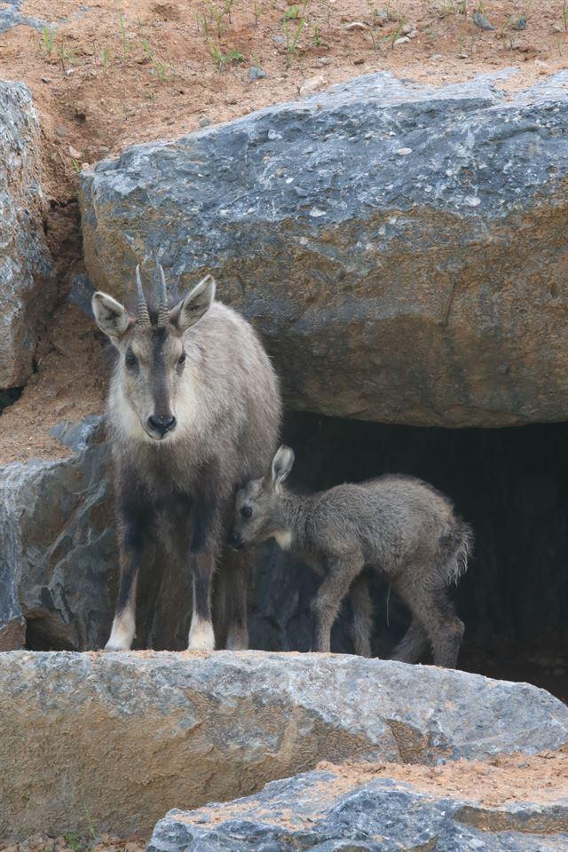 국립생태원에서 지난달 23일 태어난 새끼 산양과 어미 산양이 돌 틈에 서 있다. 국립생태원 제공
