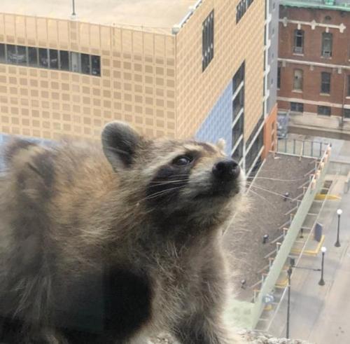 고층건물 창가에서 안을 들여다 보는 라쿤 [그랜트 캐민 트위터 캡처]