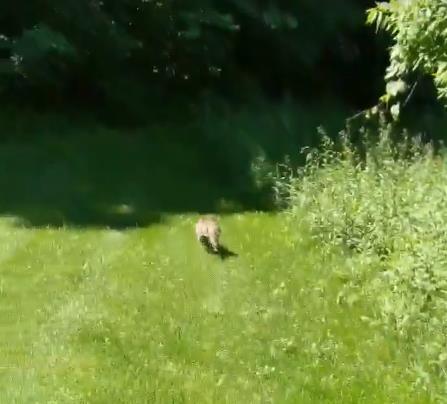 숲속으로 쏜살같이 달아나는 라쿤 용역업체 '야생동물관리서비스' 동영상 캡처