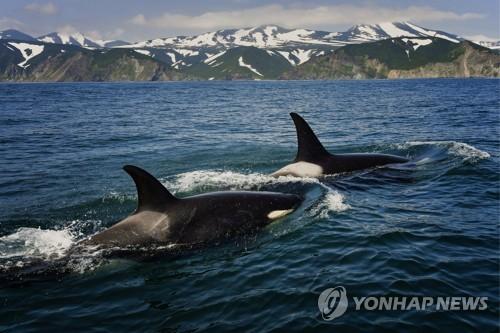 바다를 누비는 범고래 [이타르타스=연합뉴스]
