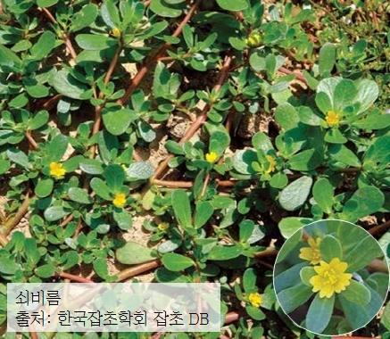 쇠비름 - 출처: 한국잡초학회 잡초 DB