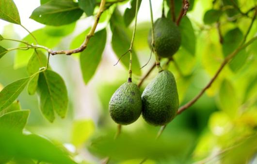 아보카도는 지방 덩어리? 다이어트할 때 먹어도 될까?
