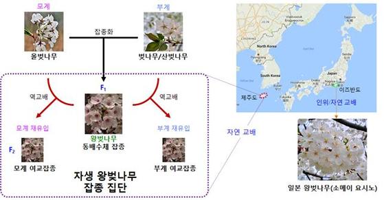 제주도 자생 왕벚나무의 탄생 과정 [자료 국립수목원]
