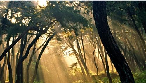 삼릉 솔숲