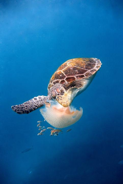 해파리를 잡아먹는 바다거북. 훨씬 다양한 동물이 해파리를 먹이로 삼는다는 사실이 밝혀졌다. 게티이미지뱅크 제공.