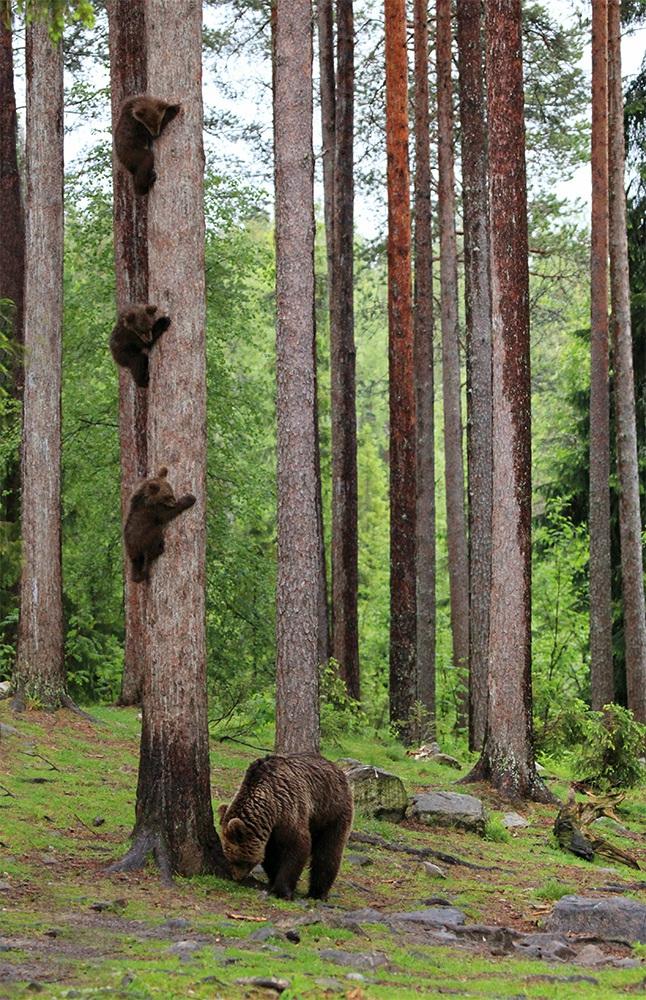 곰 세 마리가 한 나무에 있어. 핀란드의 한 숲에 사는 불곰 새끼들이 나무 위에 나란히 매달려 어미곰을 바라보고 있다. 핀란드의 Valtteri Mulkahainen가 찍었다.