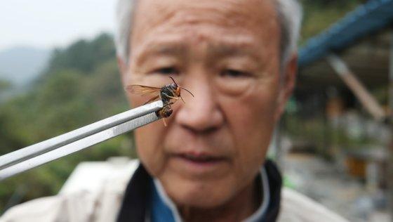 경남 창원시 회원구 내서읍 안성리 양봉장에서 잡은 외래종 '등검은말벌'을 서상돌 씨가 들어보고 있다. 송봉근 기자