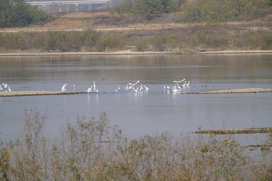 한강 이포보 개방 이후 양화천 합수부에서 먹이활동을 하고 있는 백로류 모습. [사진 환경부]