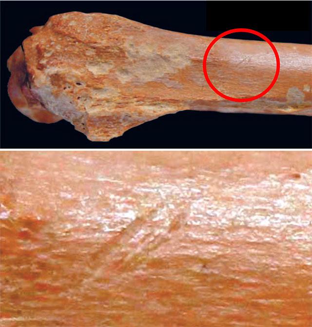 작은 소의 앞다리뼈 화석에 홈이 패어 있다. 석기를 이용해 살을 발라낼 때 생긴 흔적이다. 아래는 확대 사진이다. 사진 출처 사이언스
