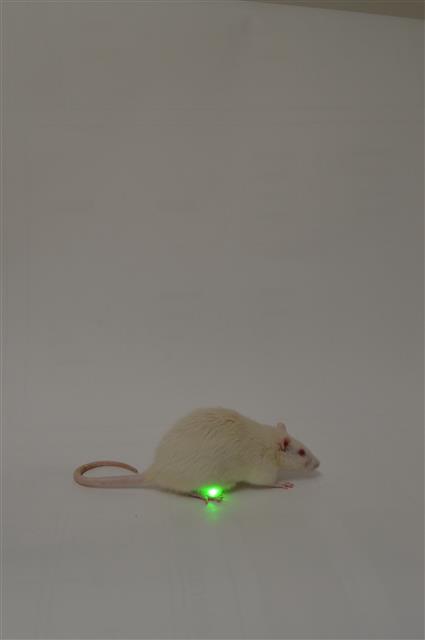 부드럽고 생체적합성이 뛰어난 광유전학 장치를 장착한 생쥐는 정상적인 방광기능을 갖게 됐다. 체중 증가나 이상 행동 등 광유전학적 장치로 인해 발생할 수 있는 부작용도 나타나지 않은 것으로 알려졌다.미국 워싱턴대의대 제공