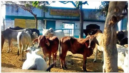 인도 우타르프라데시 주의 한 학교에 버려진 소들이 모여있다. [힌두스탄타임스 홈페이지 캡처]