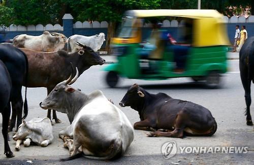 인도 벵갈루루 도로에 모여있는 소들. [EPA=연합뉴스]