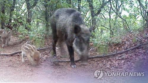 멧돼지 [연합뉴스 자료사진]