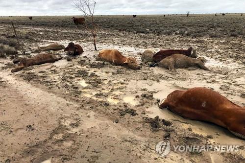 호주 북동부 홍수로 소 30만 마리 떼죽음 [AFP=연합뉴스]