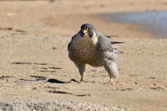 강원도 고성군 토성면 청간리 모래 해변에서 만난 매. 큰 짐승이 앞을 가로막는 듯한 힘이 느껴졌다.