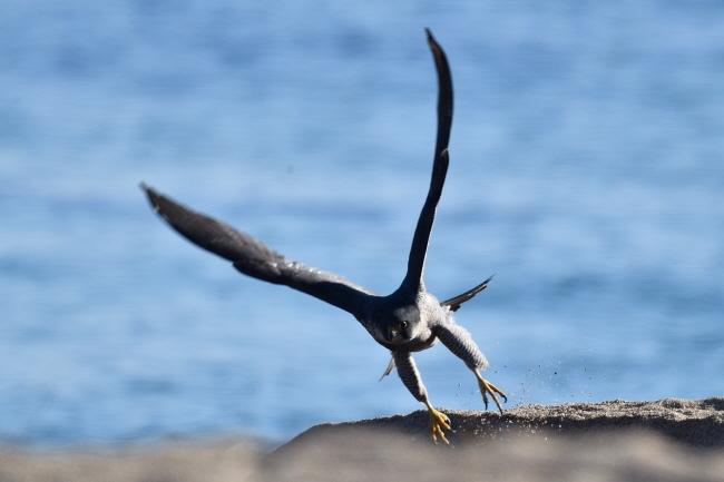 매가 모래를 박차고 날아간다.