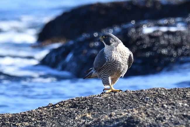 해변가 바위에 앉은 매, 주변을 살핀다.