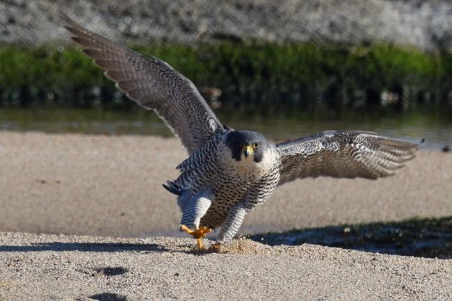 보란 듯 필자 앞으로 날아와 모래밭에 내려앉는 매.