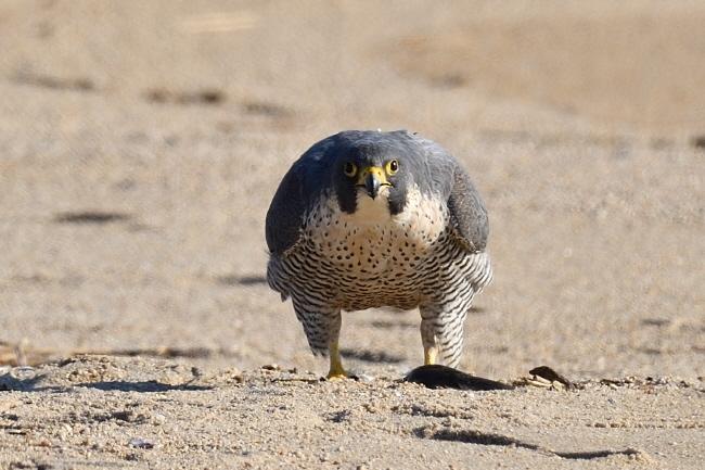 필자를 빤히 쳐다보는 매. 아주 큰 짐승이 버티고 서 있는 것 같다.