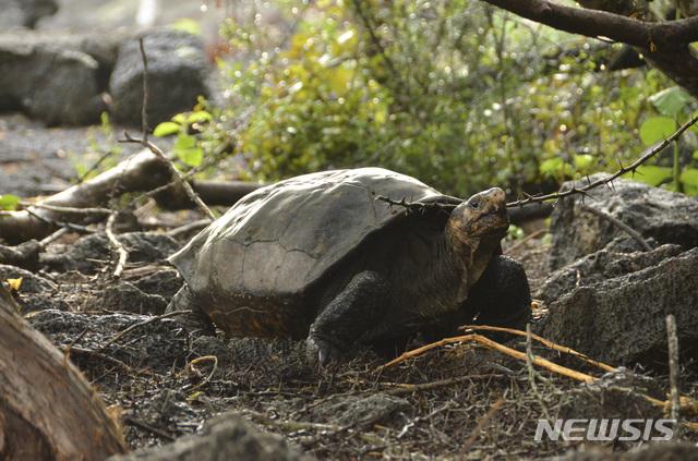 【갈라파고스 국립공원( 에콰도르) = AP/뉴시스】 에콰도르의 갈라파고스 국립공원이 발견한 멸종위기 큰 거북.   이 거북은 2월 20일 100여년만에 다시 조사단에 의해 발견되었다.
