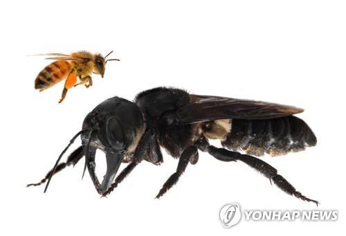 살아있는 암컷 '월리스 거인 꿀벌'과 일반 꿀벌 [AFP=연합뉴스]