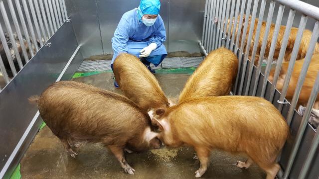 사람에게 각막·췌도를 제공할 무균 돼지들. 2년 정도 키워 체중이 70~110㎏ 정도 됐을 때가 이식에 적당하다. 서울대 의대 의생명특수자원동물센터에서 키운다. /사진제공=바이오이종장기개발사업단
