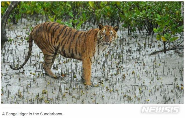 【서울=뉴시스】벵갈 호랑이가 인도의 마지막 자연 서식지에서 멸종 위기에 처했다고 미 CNN방송이 21일(현지시간) 보도했다. 사진은 CNN 보도화면을 캡쳐한 것이다. 2019.04.22