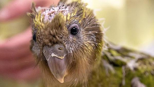 조류 최초 뇌수술받은 멸종위기종 올빼미앵무새[페이트 토토|경주 호텔]