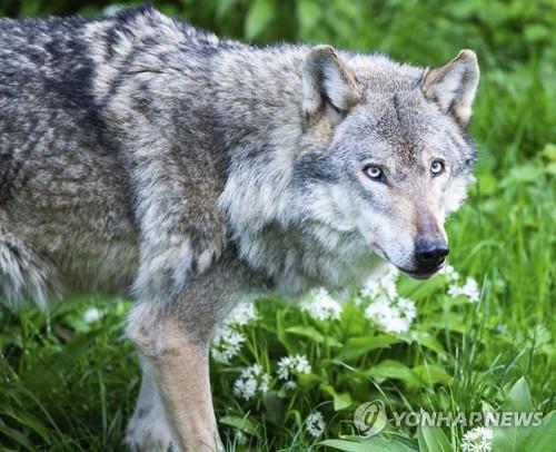 야생 늑대 [AP=연합뉴스 자료사진]