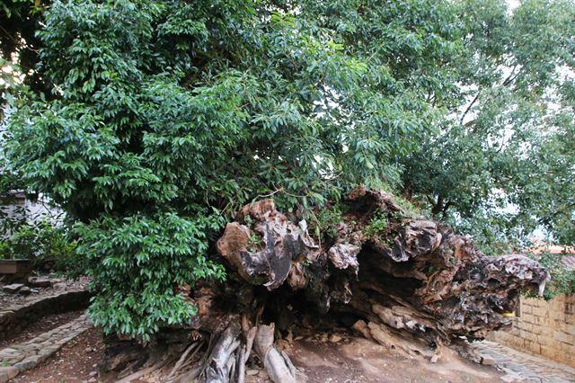 태풍으로 쓰러진 녹나무, 구산중촌의 와장.