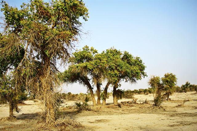 타클라마칸 사막에서 자라는 호양.